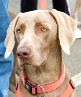 DC Area Weimaraner Rescue